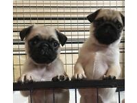 Pug puppies fawn KC registered ready now