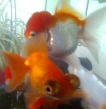 fancy goldfish Bargara Bundaberg City Preview