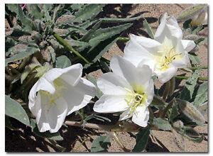 Evening Scented Primrose Seeds