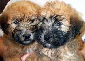 ADORABLE SOFT COATED WHEATEN TERRIER PUP'S