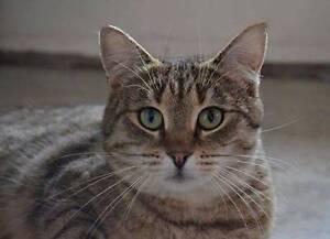 AC0465: Hazel - CAT for ADOPTION- Vet work included Victoria Park Victoria Park Area Preview