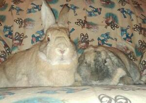 """Adult Male Rabbit - New Zealand-Holland Lop: """"Patch & Blossom"""" London Ontario image 2"""