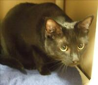 "Adult Female Cat - Domestic Short Hair: ""Kovu"""