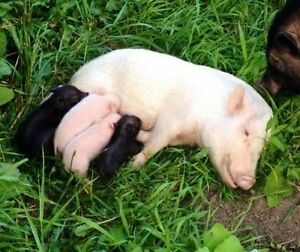 Mini Micro Pigs - Only a few LEFT!!!