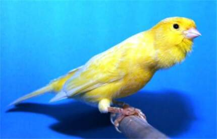 German Roller Canaries - For Sale ( Adults & now ready for Brdg ) Orelia Kwinana Area Preview