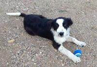 "Young Female Dog - Border Collie: ""Kiah"""
