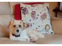 11 month old Male Jack Russell/bichon Frise for sale