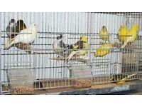 Fife Fancy canaries for sale, various colours, excellent pets. Bargain