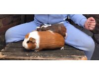 2 female Guinea pigs with Accessories
