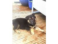 German shepherd pups Stourport 3x females