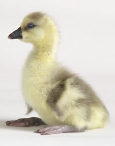 Day-old Goslings