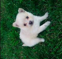 Pomeranian pup's -8 Weeks Old- PRICE REDUCED!!