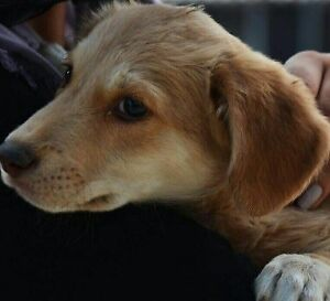 "Baby Male Dog - Golden Retriever-Labrador Retriever: ""Samson"""
