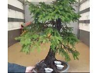 Specimen Picea Abies Yamadori Bonsai Material