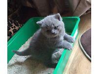 Georgeous Bsh Blue Kitten For Sale