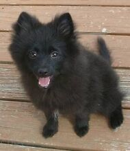 Wanted. Puppy or dog. Small nature. Toy Pomeranian or toy poodle etc Burns Beach Joondalup Area Preview