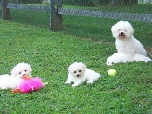 Adorable purebred bichion Frise puppies!!