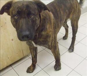 "Adult Male Dog - Plott Hound-Pit Bull Terrier: ""Brandon"""