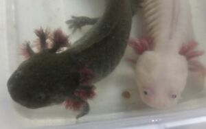 Two Axolotols