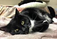 """Adult Male Cat - Domestic Short Hair-black and white: """"Dylan"""""""