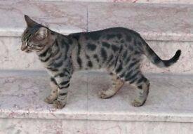Found cat on Fordwych Road in Kilburn/West Hampstead