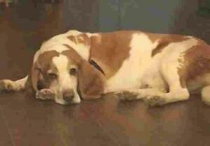 "Adult Male Dog - Basset Hound: ""BALOO"""