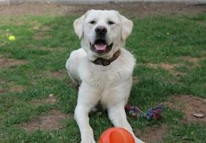 """Young Male Dog - Great Pyrenees: """"Otis"""""""