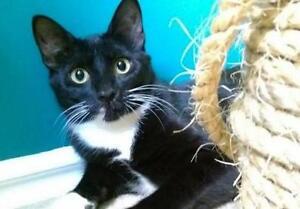 "Young Female Cat - Domestic Short Hair (Black & White): ""Flora"""