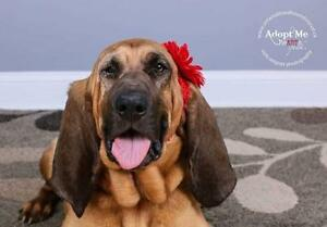 "Adult Female Dog - Bloodhound: ""ROSIE"""