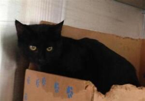 "Young Female Cat - Domestic Short Hair: ""Blacky"""