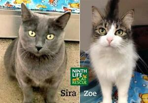 "Adult Female Cat - Domestic Short Hair: ""Zoe & Sira"" Oakville / Halton Region Toronto (GTA) image 1"