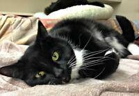 "Adult Male Cat - Domestic Short Hair-black and white: ""Dylan"""