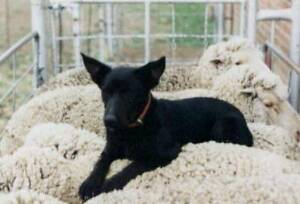 KELPIE FEMALE PADDOCK/YARD DOG (WELL STARTED) Broadford Mitchell Area Preview