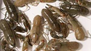 Yabbies For Sale! `BAIT or DAM STOCK` Springvale South Greater Dandenong Preview