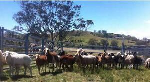 Flaggy Creek Farm Damara Summer Sheep Sale Camden Camden Area Preview