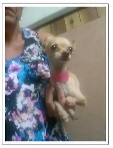"Adult Male Dog - Chihuahua: ""Benton"""