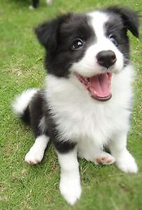 Looking for a female Border collie pup