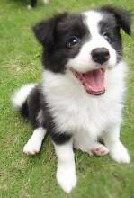 Looking to buy border collie puppies!! Campsie Canterbury Area Preview
