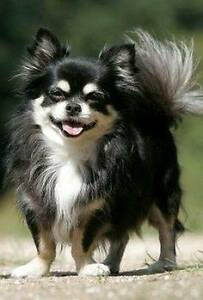 I am looking to adopt a long coat Chihuahua! Melbourne CBD Melbourne City Preview