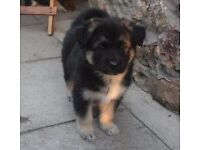 Shepsky puppies for sale (german shepherd x husky)