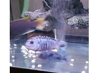 Malawi chichlid tropical fishes for sale