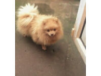 KC REGISTERED GOLDEN CREAM POMERANIAN FEMALE!!!!!!!!!!!!!!!!