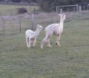 White Alpaca for sale Kyneton Macedon Ranges Preview