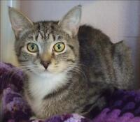 """Young Female Cat - Domestic Short Hair: """"Taber"""""""