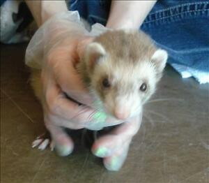 "Adult Female Small & Furry - Ferret: ""Beebee"""