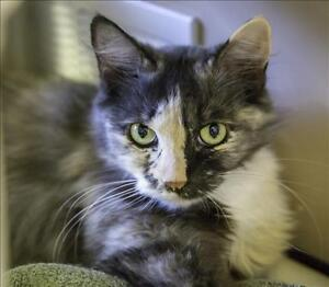 "Adult Female Cat - Domestic Medium Hair: ""Hailey"""
