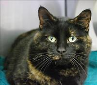 "Adult Female Cat - Domestic Short Hair: ""Shadow"""