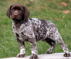 Wanted..German Shorthaired Pointer/ Choc lab mix puppy!