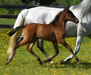 2017 PRE Andalusian Filly - Gaucho III granddaughter!