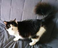 "Young Male Cat - Domestic Long Hair: ""Jiminy"""